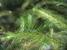 Echinodium renauldii