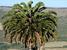 Encephalartos latifrons (Albany Cycad)