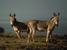 Equus africanus (African Wild Ass)