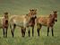 Equus ferus przewalskii (Przewalski's Horse)