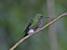 Eriocnemis nigrivestis (Black-Breasted Puffleg)