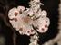 Erioderma pedicellatum (Boreal Felt Lichen)
