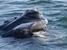 Eubalaena glacialis (North Atlantic Right Whale)