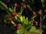 Euphorbia tanaensis