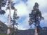 Fitzroya cupressoides (Patagonian Cypress)