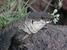 Gallotia bravoana (La Gomera Giant Lizard)