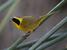Geothlypis beldingi (Belding's Yellowthroat)