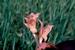 Gladiolus balensis