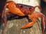 Globonautes macropus (Liberian Tree Hole Crab)