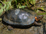 Glyptemys muhlenbergii (Bog Turtle)