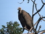 Gyps bengalensis (White-rumped Vulture)