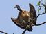 Gyps tenuirostris (Slender-billed Vulture)