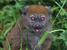 Hapalemur alaotrensis (Alaotran Gentle Lemur)