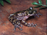 Heleophryne rosei (Table Mountain Ghost Frog)