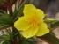 Helianthemum inaguae (Inagua Rockrose)