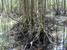 Heritiera globosa (Globosa Mangrove)
