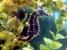 Hippocampus erectus (Lined Seahorse)