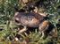 Holoaden bradei (Itatiaia Highland Frog)