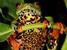 Hyperolius thomensis (São Tomé Giant Treefrog)