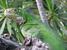 Iguana delicatissima (Lesser Antillean Iguana)