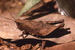 Ixalidium transiens (Usambara Drumming Grasshopper)