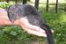 Laonastes aenigmamus (Laotian Rock Rat)