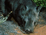 Lasiorhinus krefftii (Northern Hairy-nosed Wombat)