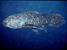 Latimeria menadoensis (Sulawesi Coelacanth)