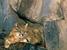 Leopardus colocolo (Pampas cat)