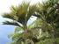 Lepidorrhachis mooreana (Little Mountain Palm)