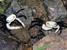 Lepidothelphusa cognetti (Sarawak Land Crab)