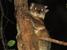 Lepilemur septentrionalis (Northern Sportive Lemur)