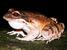 Leptodactylus fallax (Mountain Chicken)
