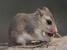 Lestodelphys halli (Patagonian Opossum)