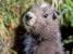 Marmota vancouverensis (Vancouver Island Marmot)