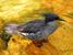 Mergus octosetaceus (Brazilian Merganser)