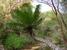 Microcycas calocoma (Cork Palm)