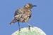 Mimus trifasciatus (Floreana Mockingbird)