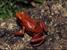Minyobates steyermarki (Demonic Poison Frog)