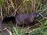 Mustela lutreola (European Mink)