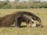 Myrmecophaga tridactyla (Giant Anteater)