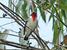 Nemosia rourei (Cherry-throated Tanager)
