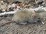 Nesoryzomys swarthi (Santiago Galapagos Mouse)