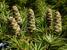 Nothotsuga longibracteata (Bristlecone Hemlock)