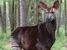 Okapia johnstoni (Okapi)