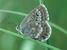 Orachrysops ariadne (Karkloof Blue)