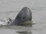 Orcaella brevirostris (Irrawaddy Dolphin)