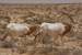 Oryx dammah (Scimitar-horned oryx)