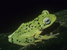 Palmatorappia solomonis (Solomon Island Palm Frog)