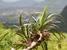Pandanus pseudomontanus (Le Pouce Mountain Screwpine)